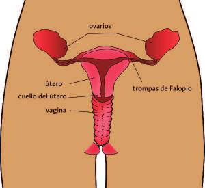 Aparato sexual de la mujer