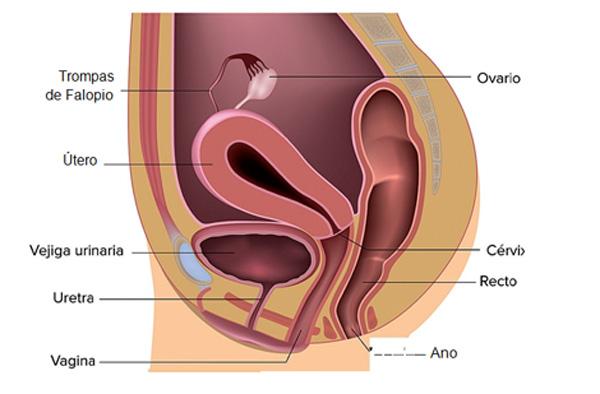 Órganos genitales internos de la mujer